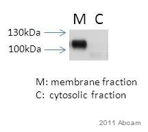 Western blot - Anti-alpha 1 Sodium Potassium ATPase antibody [464.6] - Plasma Membrane Marker (ab7671)
