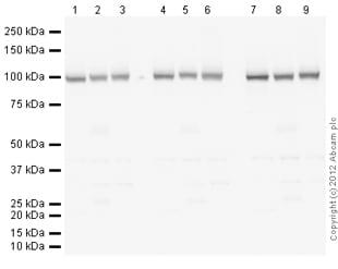 免疫印迹-抗α1钠钾ATP酶抗体[464.6](ab7671)