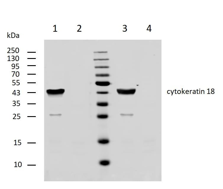 Western blot - Anti-Cytokeratin 18 antibody [DC 10] (ab7797)