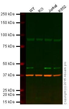 Western blot - Anti-MEK2 antibody [1A1] (ab70590)