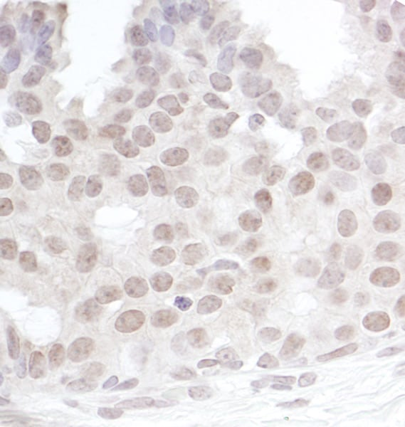 Immunohistochemistry (Formalin/PFA-fixed paraffin-embedded sections) - Anti-Gemin 4 antibody (ab70750)