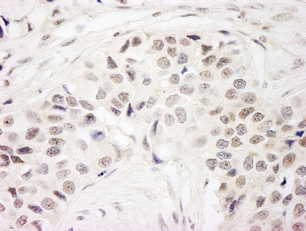 Immunohistochemistry (Formalin/PFA-fixed paraffin-embedded sections) - Anti-NSL1 antibody (ab70835)