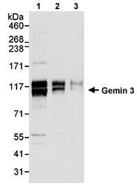 Western blot - Anti-Gemin 3 antibody (ab70896)
