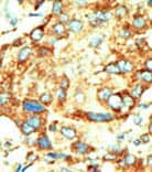 Immunohistochemistry (Formalin/PFA-fixed paraffin-embedded sections) - Anti-Dnmt2 antibody (ab71015)