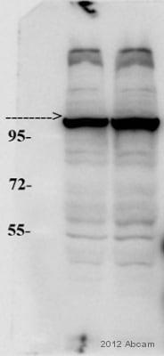 Western blot - Anti-Myosin 1C antibody - Carboxyterminal end (ab71486)