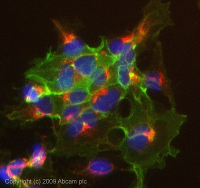 Immunocytochemistry/ Immunofluorescence - Anti-EpCAM antibody (ab71916)