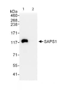 Immunoprecipitation - Anti-SAPS1 antibody (ab72030)