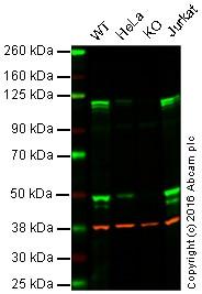 Western blot - Anti-NFkB p105 / p50 antibody [13A2F] (ab72138)