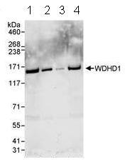 Western blot - Anti-WDHD1 antibody (ab72436)