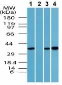 Western blot - Anti-Wnt5a antibody (ab72583)