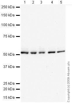 Western blot - Anti-DNAJC3 antibody (ab72885)