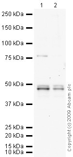 Western blot - Anti-GSK3 beta antibody (ab73173)