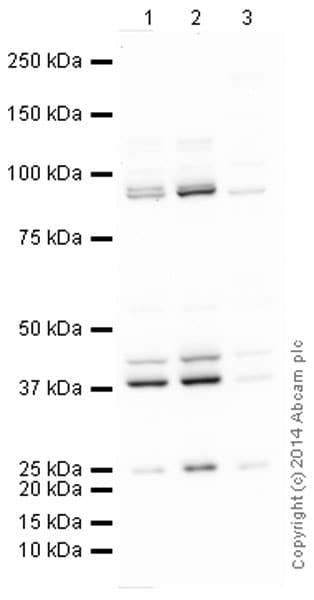 Western blot - Anti-PRMT1 antibody (ab73246)