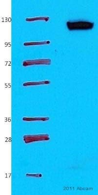 Western blot - Anti-Vinculin antibody (ab73412)