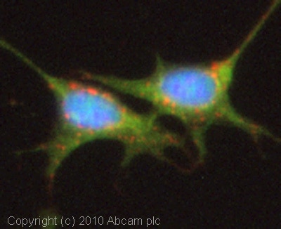 Immunocytochemistry/ Immunofluorescence - Glutamine Synthetase antibody (ab73593)