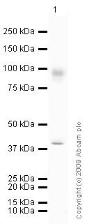 Western blot - Anti-MMP9 antibody (ab73734)