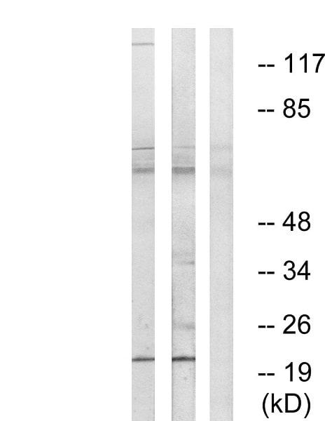 Western blot - Anti-MRPL50 antibody (ab74108)