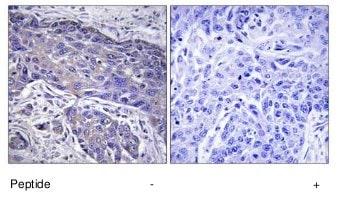 Immunohistochemistry (Formalin/PFA-fixed paraffin-embedded sections) - Anti-Pofut1 antibody (ab74302)