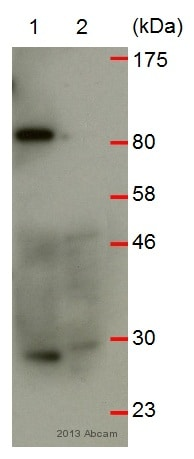 Western blot - Anti-RNF125 antibody (ab74373)
