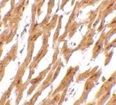 Immunohistochemistry (Formalin/PFA-fixed paraffin-embedded sections) - Anti-ASAH1 antibody (ab74469)