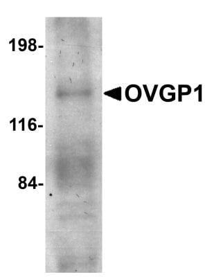 Western blot - Anti-OVGP1 antibody (ab74544)