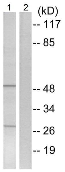 Western blot - Anti-CYP4X1 antibody (ab74810)