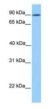 Western blot - Anti-LRRC50 antibody (ab75163)