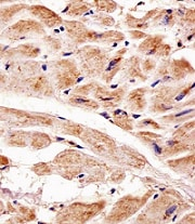 Immunohistochemistry (Formalin/PFA-fixed paraffin-embedded sections) - Anti-PINK1 antibody [38CT18.7] (ab75487)
