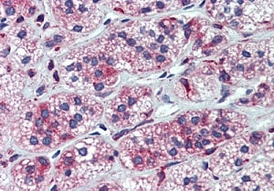 Immunohistochemistry (Formalin/PFA-fixed paraffin-embedded sections) - Anti-CYP11A1 antibody (ab75497)