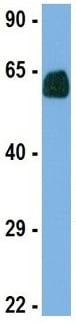 Western blot - Anti-Deformed Epidermal Autoregulatory Factor 1 antibody (ab75792)
