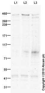 Western blot - Anti-FREM2 antibody (ab75803)