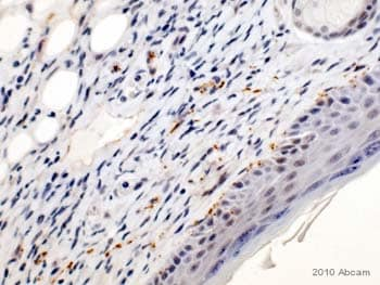 Immunohistochemistry (Formalin/PFA-fixed paraffin-embedded sections) - GAP43 antibody [EP890Y] (ab75810)