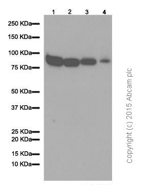 Western blot - Anti-Cullin 1/CUL-1 antibody [EPR3103Y] (ab75817)