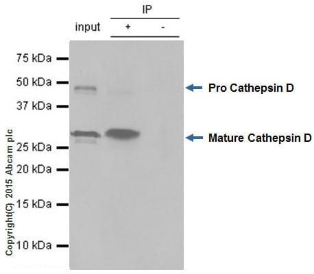 Immunoprecipitation - Anti-Cathepsin D antibody [EPR3057Y] (ab75852)