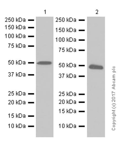Western blot - Anti-PABPN1 antibody [EP3000Y] (ab75855)