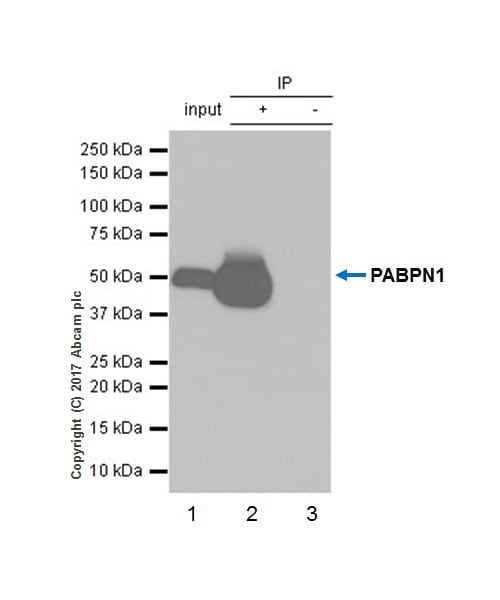 Immunoprecipitation - Anti-PABPN1 antibody [EP3000Y] (ab75855)