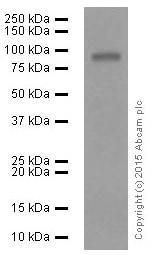 Western blot - Anti-MMP9 antibody [EP1254] (ab76003)