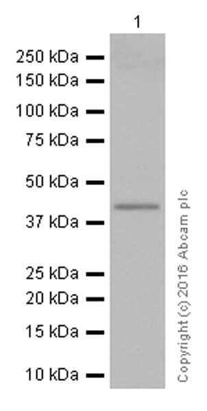 免疫印迹-抗TTF1抗体[EP1584Y](ab76013)