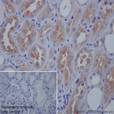 Immunohistochemistry (Formalin/PFA-fixed paraffin-embedded sections) - Anti-VAMP8 antibody [EP2629Y] (ab76021)