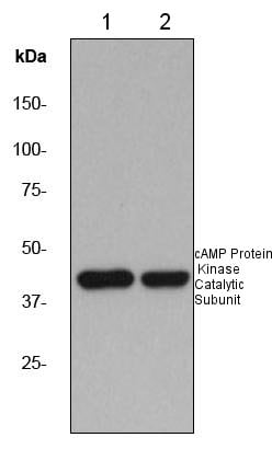 Western blot - Anti-cAMP Protein Kinase Catalytic subunit antibody [EP2102Y] (ab76238)