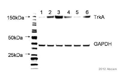 Western blot - Anti-TrkA antibody [EP1058Y] (ab76291)