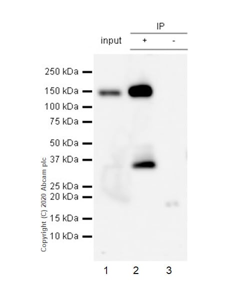 Immunoprecipitation - Anti-Pan Trk antibody [EP1058Y] (ab76291)