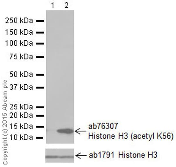 Western blot - Anti-Histone H3 (acetyl K56) antibody [EPR996Y] (ab76307)