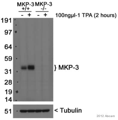 免疫印迹-抗DUSP6抗体[EPR129Y](ab76310)