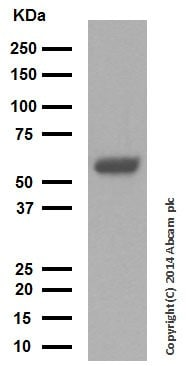 Western印迹-抗细胞角蛋白10抗体[EP1607IHCY](AB76318)