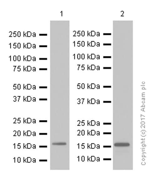 免疫印迹-抗生存素抗体[EP2880Y](ab76424)