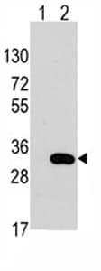 Western blot - Anti-CLIC4 antibody (ab76593)