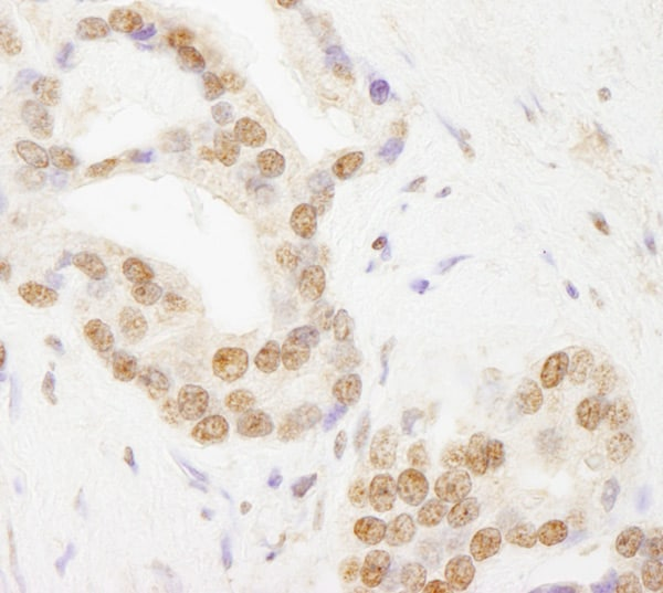 Immunohistochemistry (Formalin/PFA-fixed paraffin-embedded sections) - Anti-TAF6 antibody (ab76922)