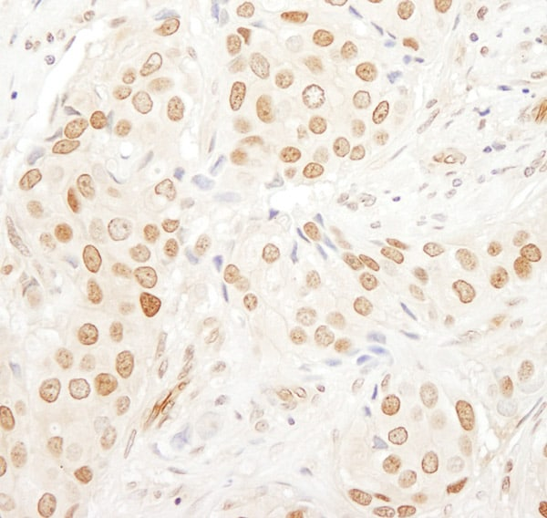 Immunohistochemistry (Formalin/PFA-fixed paraffin-embedded sections) - Anti-PAF49 antibody (ab76933)