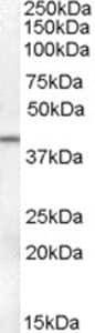 Western blot - Anti-SerpinB6 antibody (ab77372)